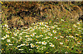 J5264 : Sea mayweed, Reagh Island near Comber by Albert Bridge