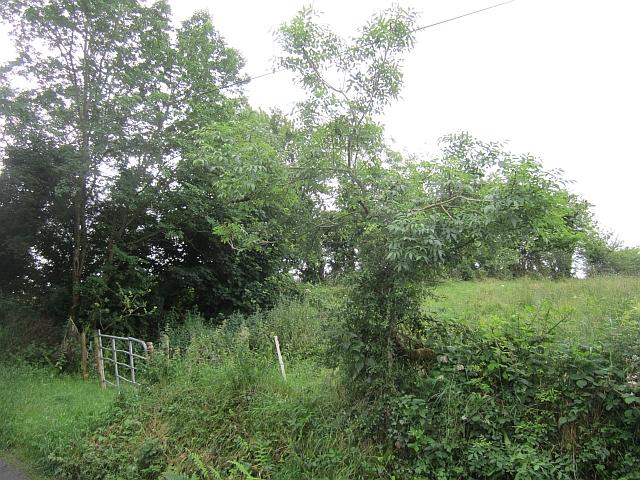 Hedgerow ashes, Cortober