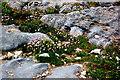 R0597 : Doolin - R479 - Harbour - Red Clover-like Plants growing between Rocks by Joseph Mischyshyn