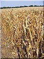 TM3674 : Wheat Crop off Bramfield Road by Adrian Cable