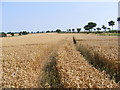 TM3674 : Wheat Crop along the tram lines by Adrian Cable
