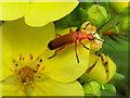 H4672 : Common red soldier beetle (Rhagonycha fulva) by Kenneth  Allen