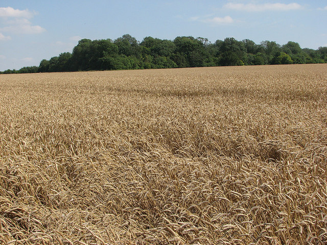 Ripening wheat at Streetly End