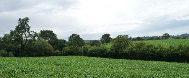 Corner of a maize field
