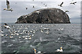 NT6087 : Gannets at the Bass Rock by Anne Burgess