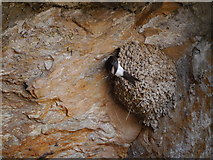 NX4235 : House Martin (Delichon urbica) At Nest, St Ninian's Cave by James T M Towill