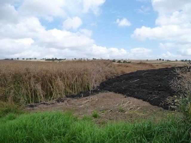 Oilseed rape crop under a cloudy sky