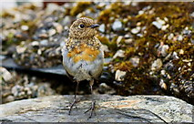 SH5848 : Young Robin in Beddgelert by Peter Trimming