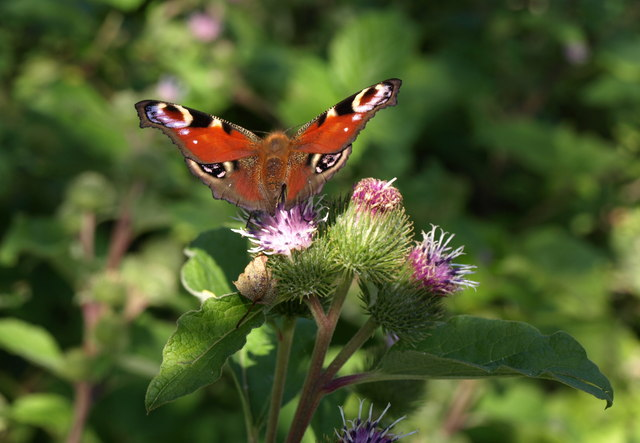 Butterfly on burdock, Haldon