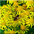 J4877 : Hoverfly on Ragwort, Clandeboye by Rossographer