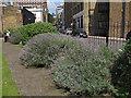 TQ3279 : Guy Street Park - lavender by Stephen Craven