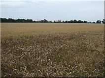 TL2243 : Crop field east of Biggleswade by JThomas