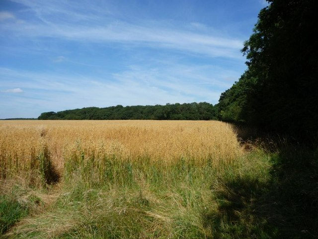 Oat field bounded by Tickencote Laund