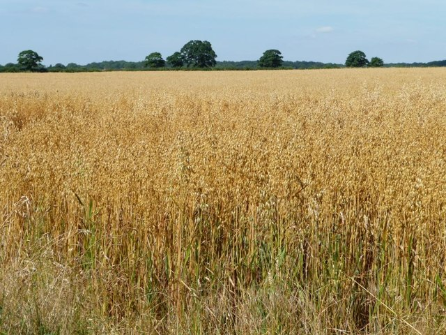 Oat field on a sunny day