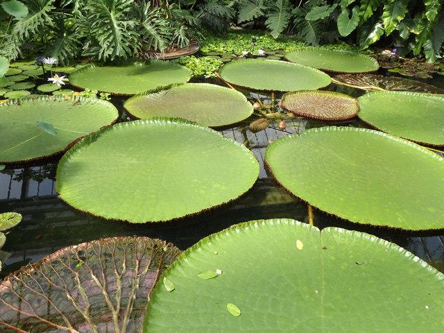 Victoria Waterlilies, Kew