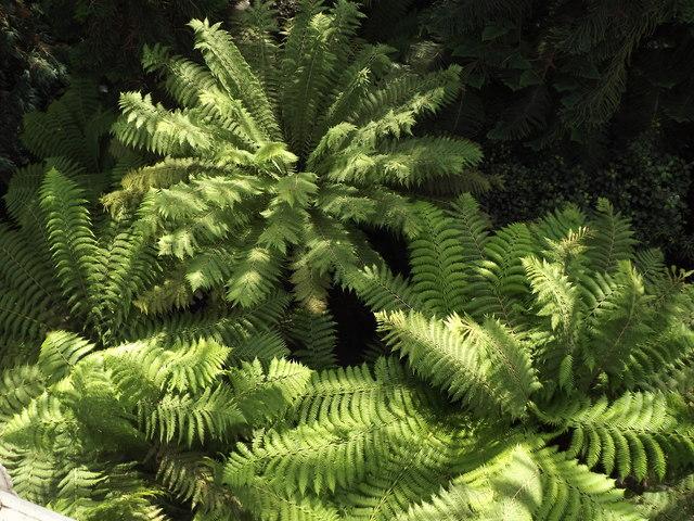 Tree Ferns, Kew