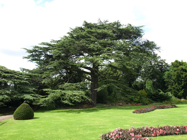 Cedar of Lebanon at Wollaton Hall