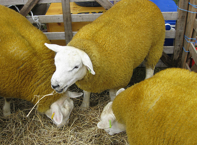 Texel sheep at the Rosedale Show, 2012 © Pauline E cc-by-sa