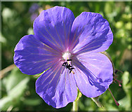 NT6578 : Meadow Cranesbill (Geranium pratense) by Anne Burgess