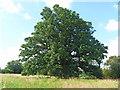 SP0941 : Oak giant [1] by Michael Dibb