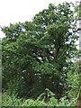 TL2342 : Trees beside Green Lane by JThomas