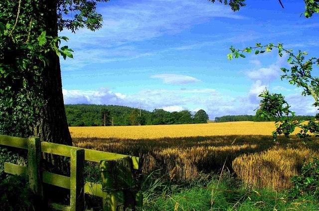 Cornfield View