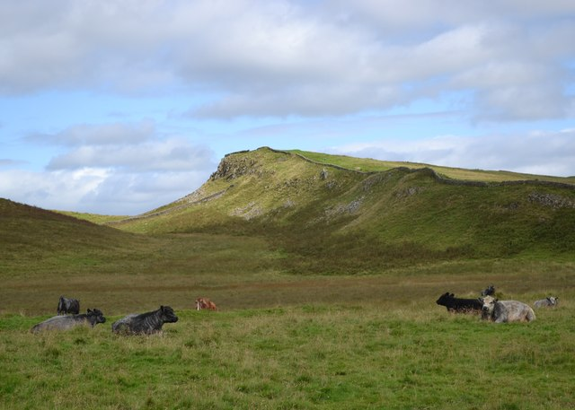 Cattle resting with Sewingshields Crags beyond