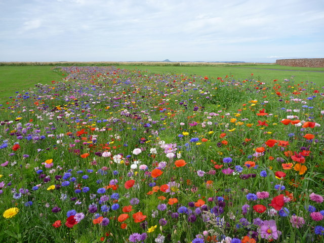 Coastal East Lothian : Wildflower Meadow at Winterfield Park, Dunbar