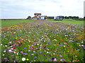 NT6779 : East Lothian Townscape : Wildflower Meadow at Winterfield Park, Dunbar by Richard West