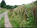 SK3971 : Flowering teasel on the Trans Pennine Trail by Christine Johnstone