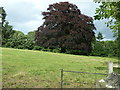 SO4565 : Copper Beech in the grounds of Croft Castle by Dave Spicer