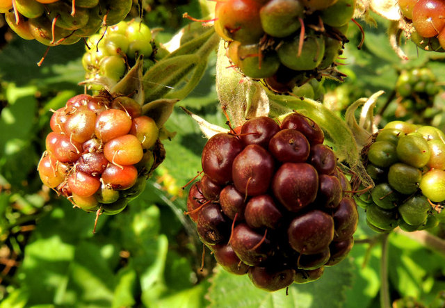 Blackberries, Helen's Bay (3)