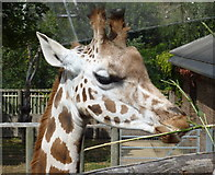 TQ2783 : A giraffe accepting treats in London Zoo by pam fray