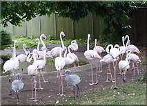 TQ2883 : Flamingos at ZSL London Zoo by pam fray
