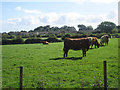 NU1712 : Cattle grazing near Alnwick by Graham Robson