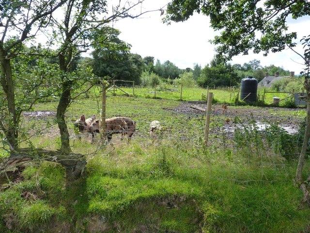 Free-range pigs on Wentnor Prolley Moor