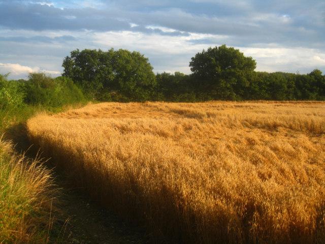 Wheat lodging by Sandy B