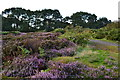 SW5332 : Heather beside path near Trevarthian Farm by David Martin