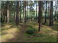 SU8968 : Pine Grove by Alan Hunt