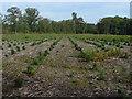 SU8965 : New Pine Plantation by Alan Hunt