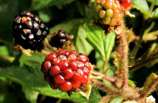 Blackberries, Coleraine