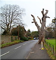 ST6390 : Gnarled oak tree, Castle Street, Thornbury by Jaggery