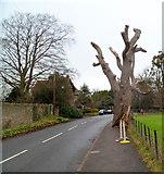 ST6390 : Gnarled oak tree, Castle Street, Thornbury by Jaggery