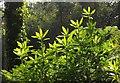 SX9280 : Rhododendron near Mamhead Point by Derek Harper