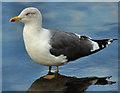 J3474 : Lesser black-backed gull, Belfast by Albert Bridge