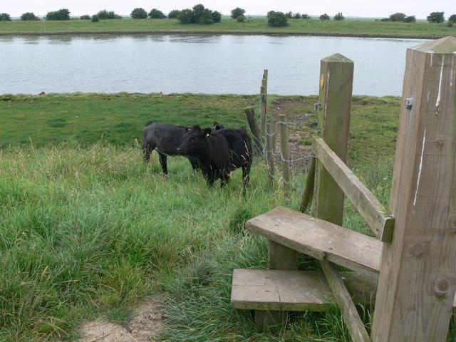 Cows near a stile