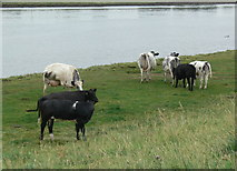 TF3839 : Cows on The Haven sea bank by Mat Fascione