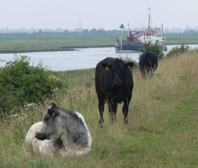 Cows on The Haven sea bank