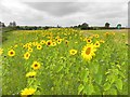 H5759 : Sunflowers along the A5 by Kenneth  Allen