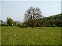 SO5213 : Forked tree in a riverside field SE of Newton Court by Jaggery